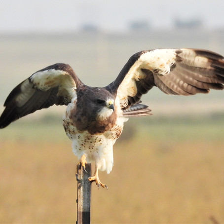 Swainson's Hawk Migration Begins