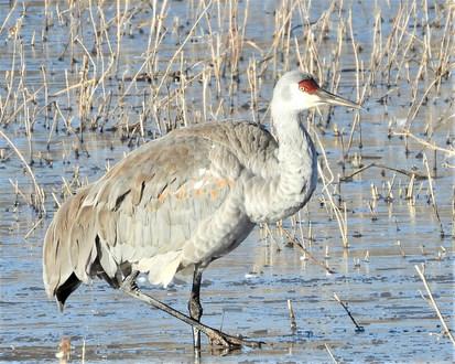Sandhill crane in water at BdA 1-19-20 (