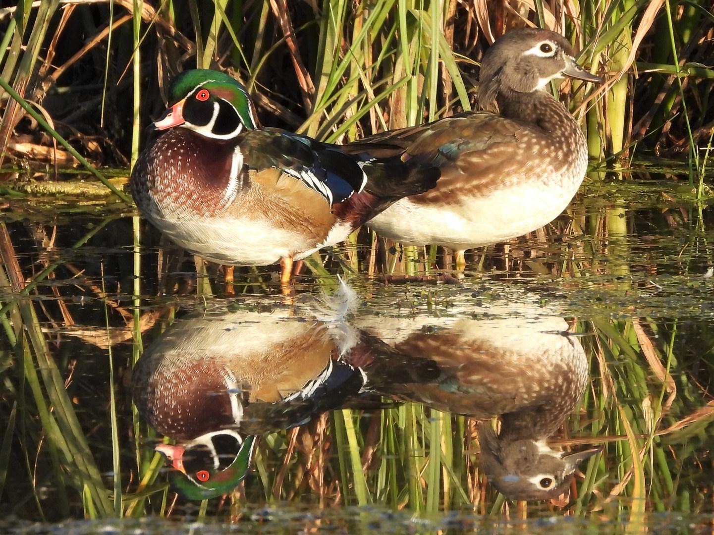 Wood duck pair Thompson 10-4-20 3.JPG