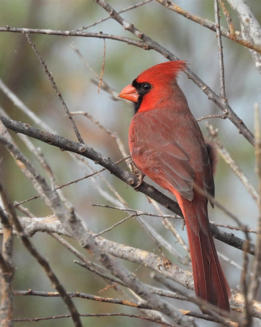 Cardinal at Copper Breaks 10-11-20 2.JPG