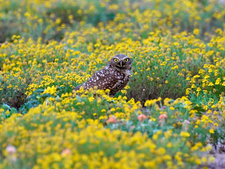 Burrowing Owls are Summer's Entertainers