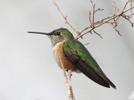 Rufous Hummingbird 9-13-20 6.JPG