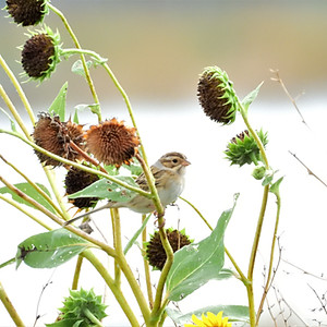 Sparrows of the Texas Panhandle