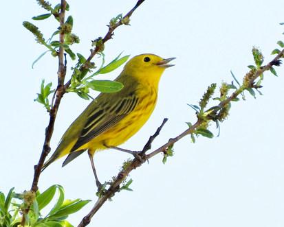 yellow warbler rita blanca 5-2-20.jpg
