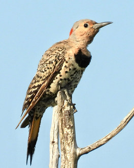 northern flicker (yellow shafted) greenb