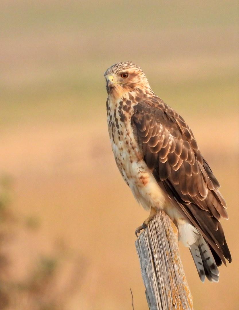 swainson's hawk mcgee 8-16-20.jpg
