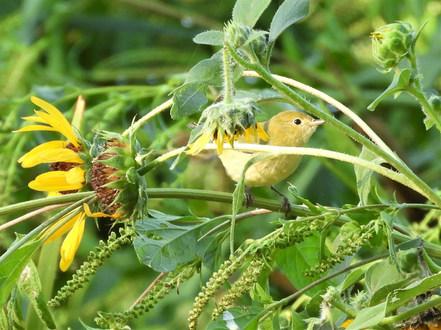 Yellow Warbler Thompson 8-30-20.JPG