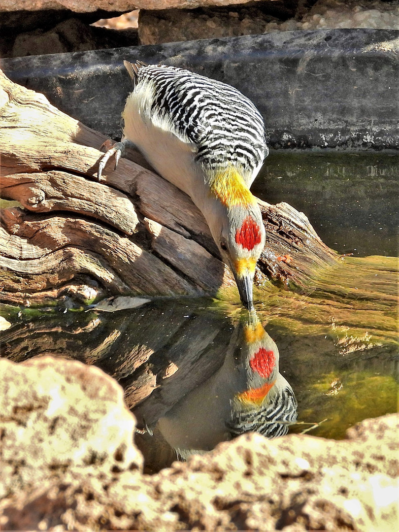 golden-fronted woodpecker pdc bird blind