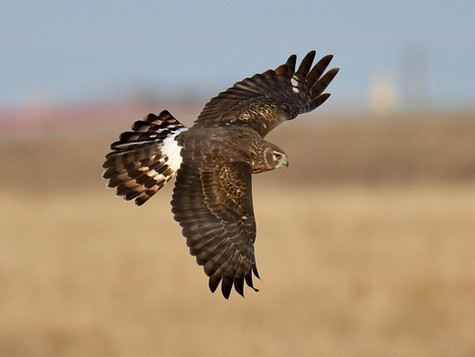 Northern Harriers Silently Glide over Panhandle Countryside
