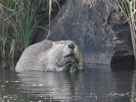 Beaver at WMNWR 9-13-20 4.JPG