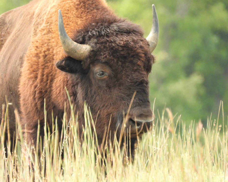 Buffalo WMNWR 9-12-20 4.jpg