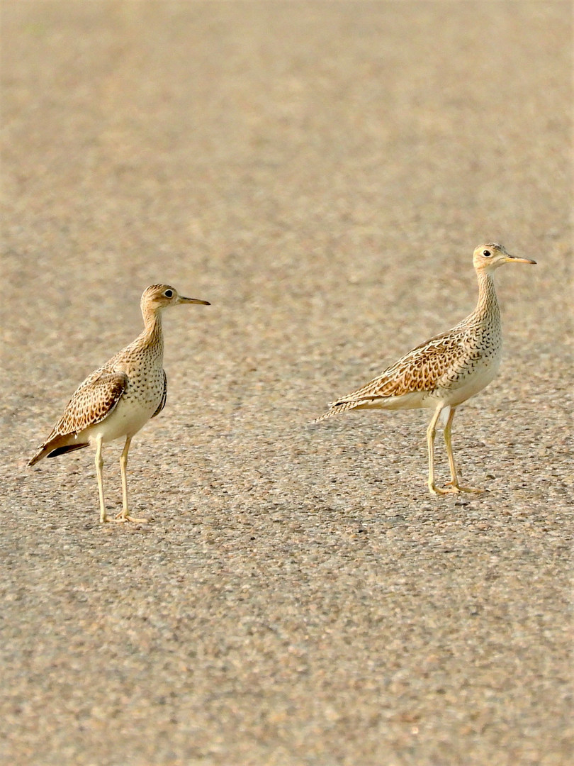 upland sandpipers in road mcgee 8-16-20