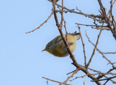 Northern Parula in Palo Duro Canyon