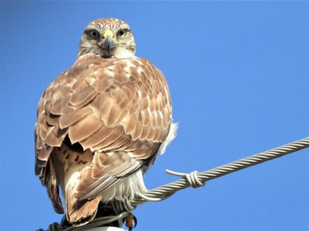 Ferruginous Hawk Amarillo 2-2-20.jpg