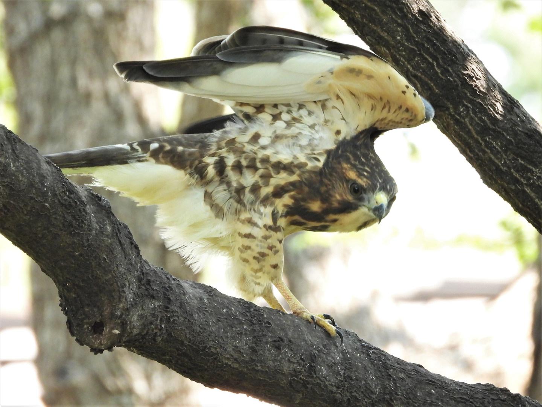 Broad-winged Hawk in Claudia's tree 8-24