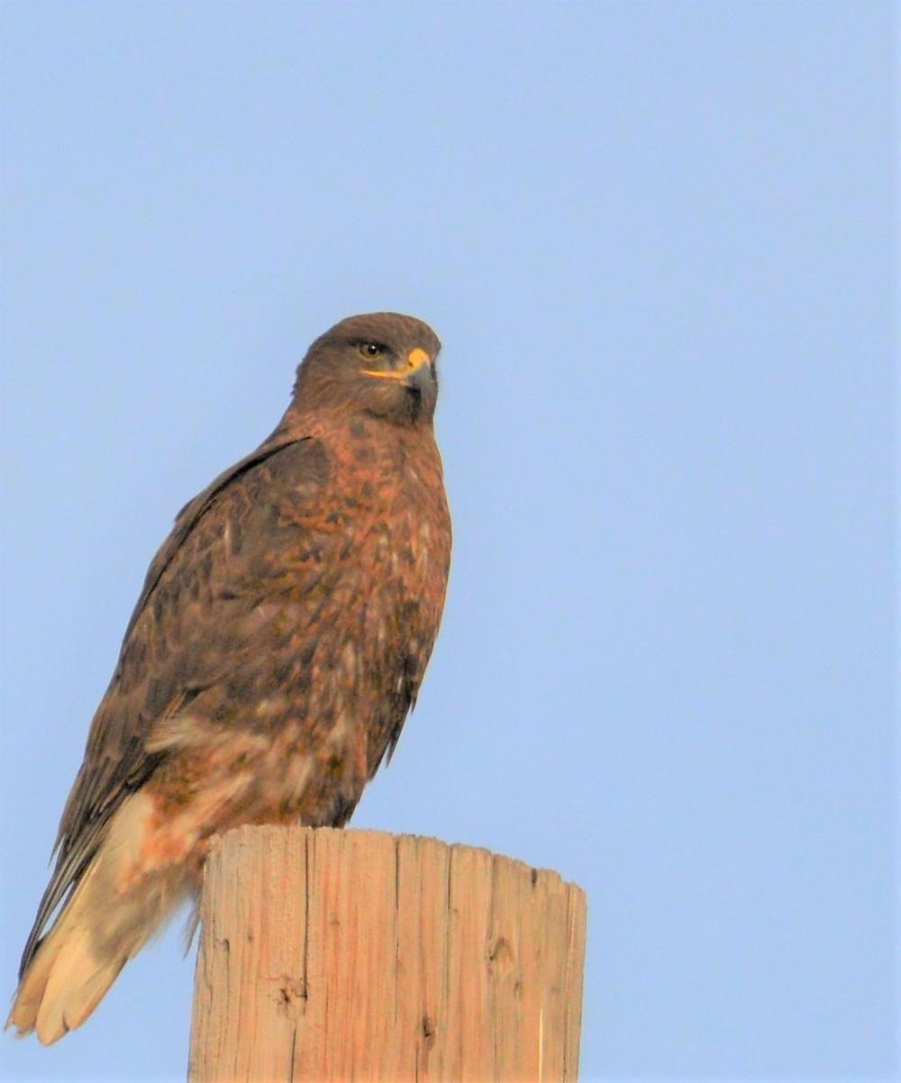Ferruginous Hawk on Sundown Lane in Randall County, January 2019