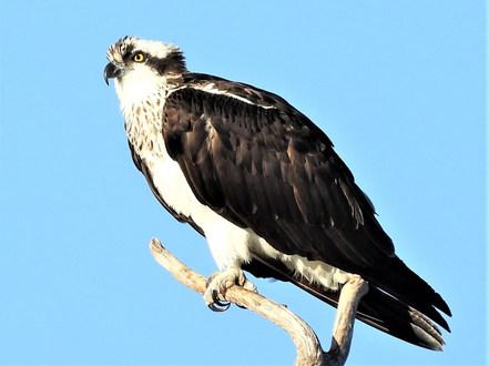 Osprey at Lake Tanglewood (edited).JPG