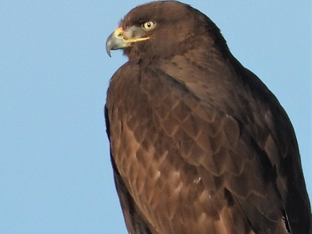 Ferruginous Hawk (dark morph)