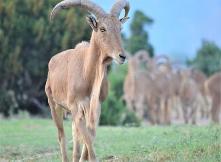 Aoudad Sheep in Palo Duro Canyon
