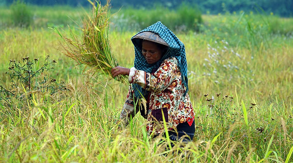 Walk to Khathin Pagoda - harvesting rice