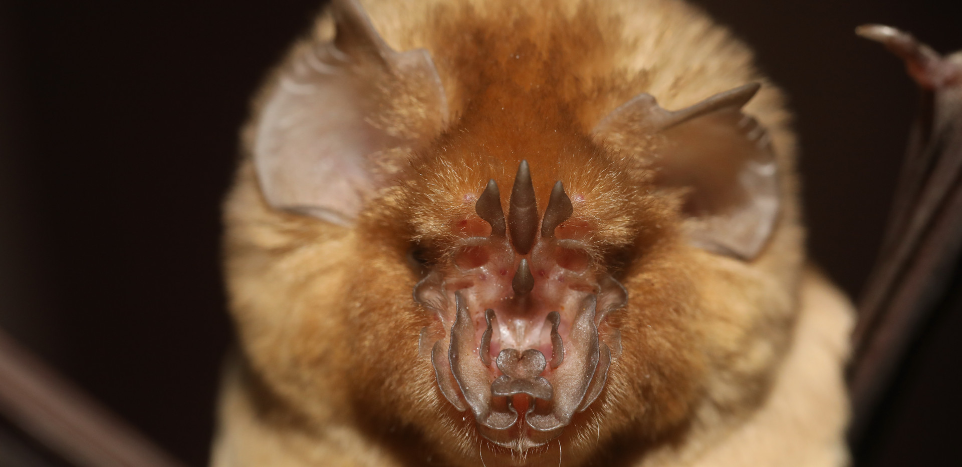 Persian Leaf-nosed bat