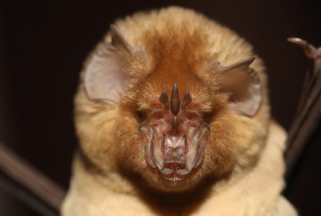 Persian Leaf-nosed bat