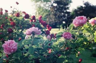 Castilian (damask) roses - the same roses that our Lady asked Juan Diego to gather to present before the Bishop