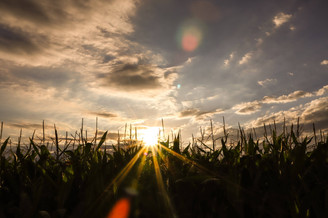 Beindruckender Sonnenuntergang über dem Maisfeld