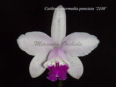 Cattleya_intermedia_punctata_2330