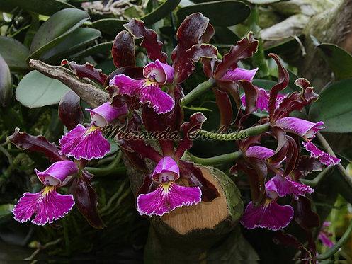 "Cattleya schilleriana (rubra x rubra 'Caliman') - Size 2"""