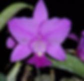 Cattleya_walkeriana_tipo_PB243390_800x_W