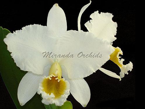 "Cattleya percivaliana alba x sib select - Size 2"""