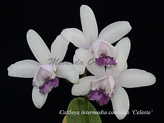 Cattleya intermedia coerulea 'Celeste'