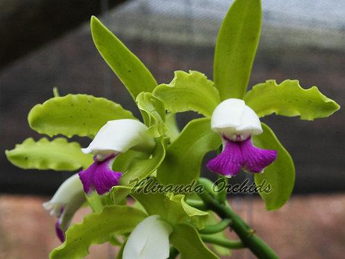 """Cattleya leopoldii semi-alba x outcross - Size 2"""""""