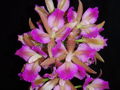 "Cattleya leopoldii ('Dark Prince' x peloric 'Miranda Iris') - Size 3"""