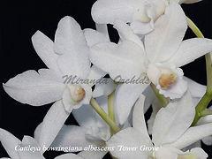 Cattleya_bowringiana_albescens_Tower_Gro
