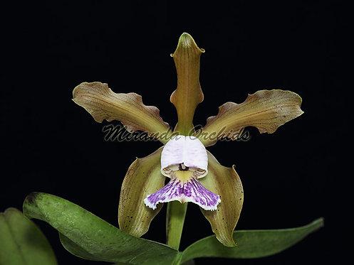 """Cattleya schilleriana coerulea ('#2' x '#3') - Size 2"""""""