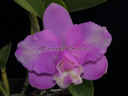 "Cattleya loddigesii peloric ('#2' x '#5') - Size 2"""