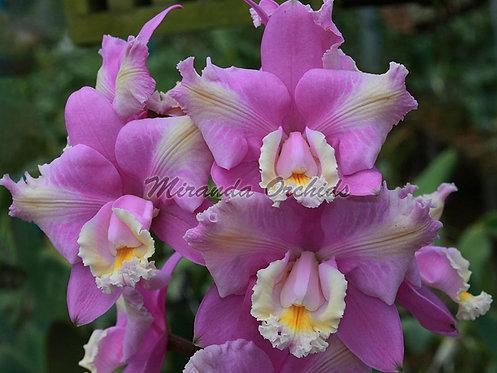 """Cattleya harrisoniana peloric x sib select - Size 2"""""""