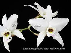 Laelia_anceps_Marble_Queen_DSC06029_800x