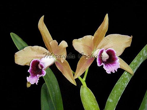 """Laelia tenebrosa ('Paul' x 'Miranda Orchids') - Size 2"""""""