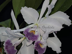 Cattleya_warneri_coerulea_Pauwela_Giant_