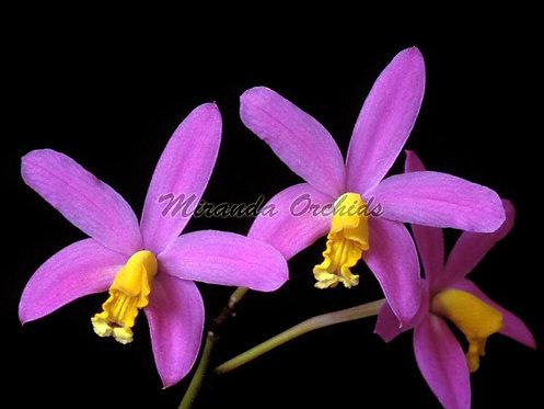 "Laelia longipes (lucasiana) - Size 2"" (NFS to FS)"