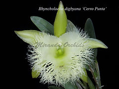 Rhyncholaelia_digbyana_Cerro_Punta_PB153