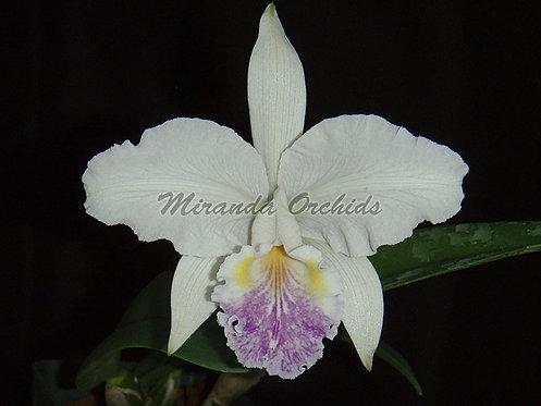 "Cattleya lueddemanniana coerulea ('6114' x '0965') - Size 3"""