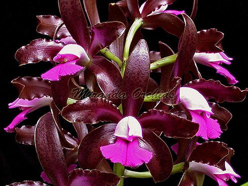 """Cattleya leopoldii ('Claire' AM/AOS x 'Dark Prince') - Size 2"""""""