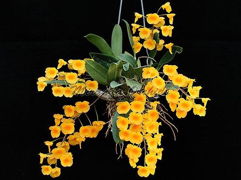 """Dendrobium aggregatum - Size 4"""" (FS)"""