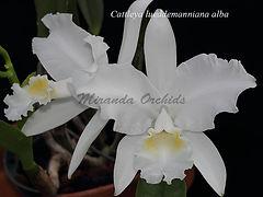 Cattleya_lueddemanniana_alba_IMG_4731_CR