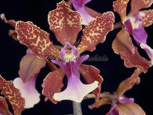"Oncidium lanceanum x sib select - Size 2"""