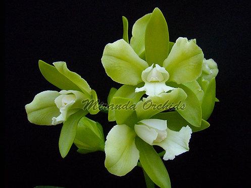 """Cattleya leopoldii (alba x trilabelo alba '#1') - Size 3"""""""